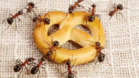 Как избавиться от муравьев дома?